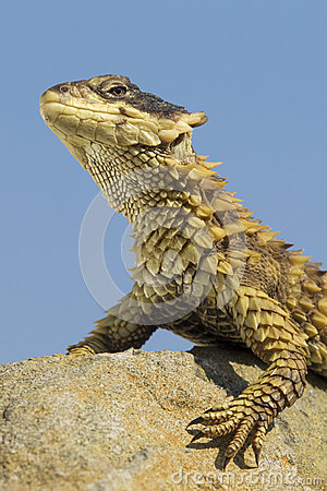 Sungazer Lizard, (Cordylus giganteus), South Africa