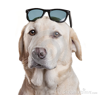 Sunglasses Dog