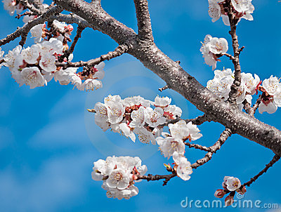 Sungold Apricot Blossoms against Blue Sky