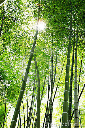 Sunlight through bamboos