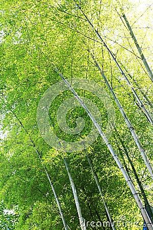 Sunlight through bamboos