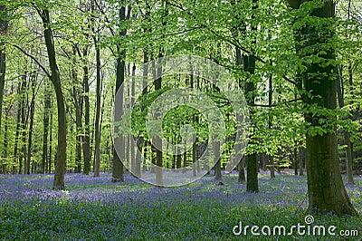 Sunlight through Beech woods