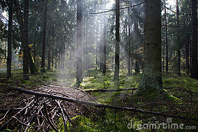 Sunlight entering misty coniferous forest