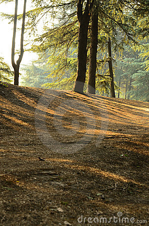 Sunlight into Pine Forests