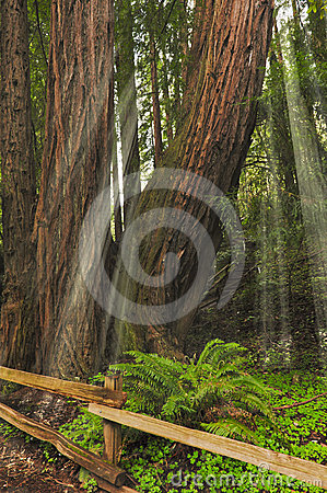 Sunlight thru Giant Redwoods Sequoia sempervirens