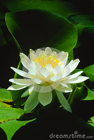 Sunlight on White Water Lily (Nymphaeaceae alba)