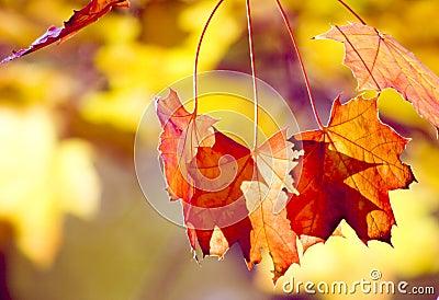 Sunlit autumn leafs