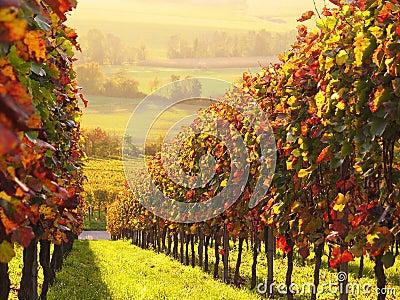 Sunlit colored vineyard