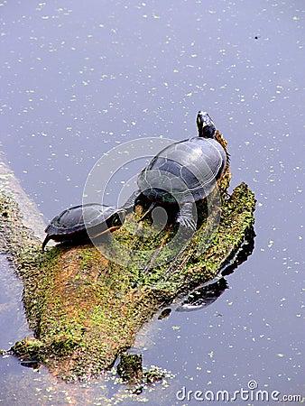 Sunning Midland Painted turtles