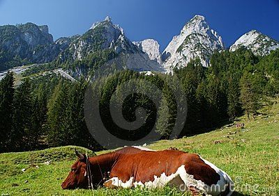 Sunny Alps with a cow