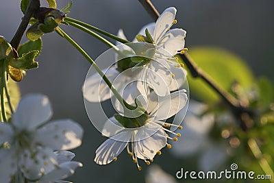 Sunny cherry s bloom