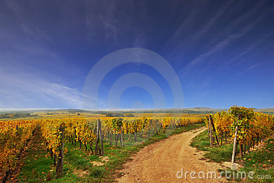 Sunny Country Road in a Vineyard
