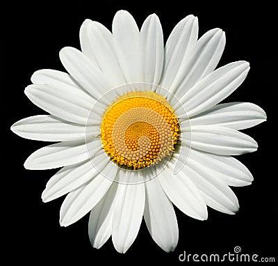Free Sunny Daisy Royalty Free Stock Photos - 7806368