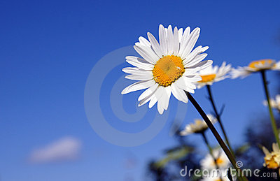A sunny daisy on a blue sky background
