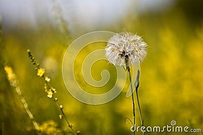 Sunny dandelion on the field