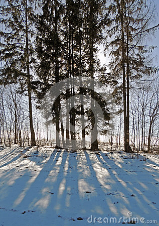 Free Sunny Day In February. Long Shadows On The Snow. The Trees And Spruce. Royalty Free Stock Photo - 86242305