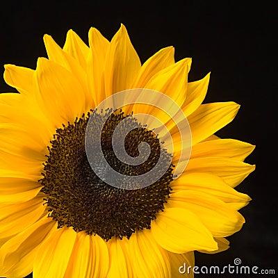Sunny Flower on Black Background