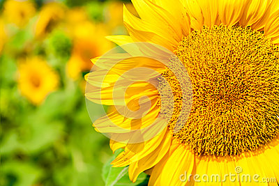 Sunny flower of sunflower