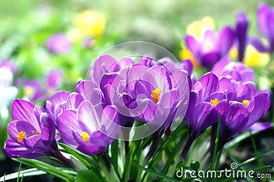 Sunny lilac crocuses
