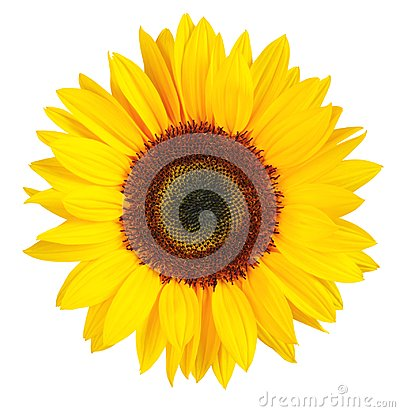 Free Sunny Sunflower Isolated On White Background, Including Clipping.path. Stock Photo - 111316540