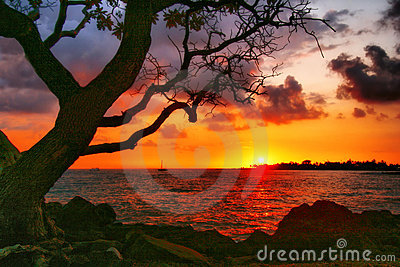 Sunny tree of Hawaii