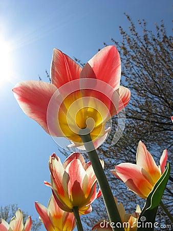 Free Sunny Tulip Stock Image - 5343831