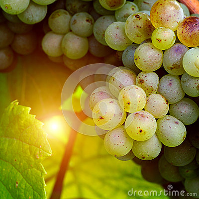 Sunny white grape