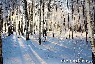 Sunrise in birches forest