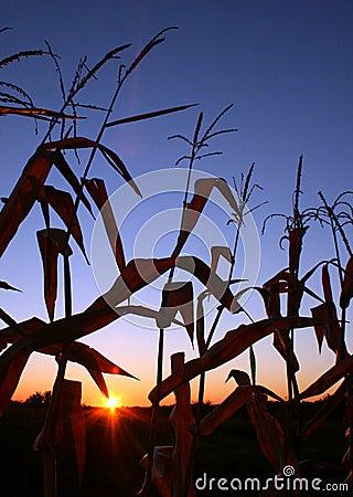 Sunrise in Cornfield