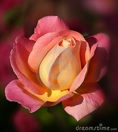 Sunrise Rose