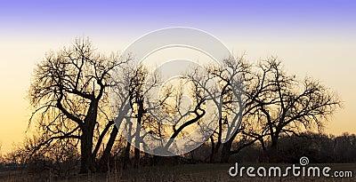 Sunrise Silhouettes of Bare Trees