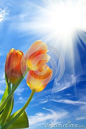 Sunrise  sun  sky   flowers  tulips