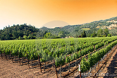 Sunrise at a vineyard in Napa, California