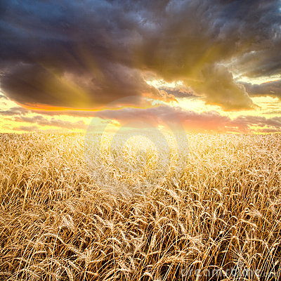 Free Sunset Above The Wheat Field Royalty Free Stock Image - 11003796