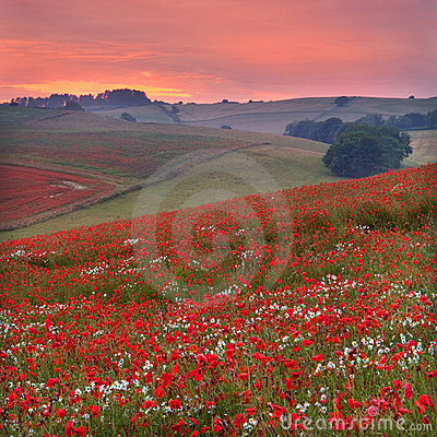 Free Sunset Across A Dorset Poppyfield Stock Images - 15013014