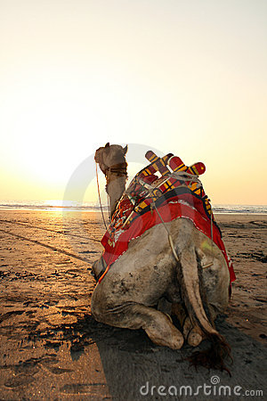 Sunset Camel