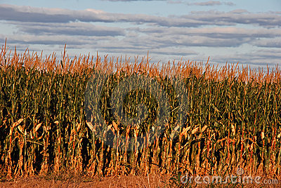 Sunset cornfield