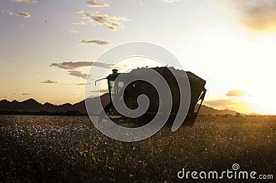 Sunset on Cotton field