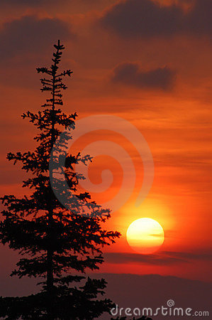 Sunset and fir tree