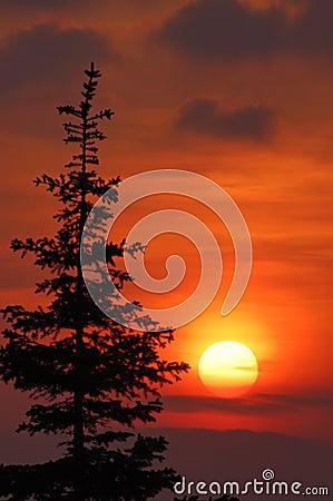 Sunset and fir tree