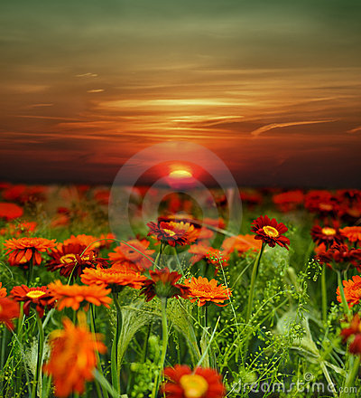 Free Sunset Flower Field Royalty Free Stock Images - 13744899