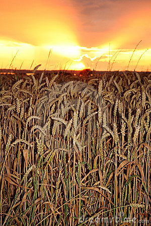 Free Sunset Harvest Stock Photography - 1049632