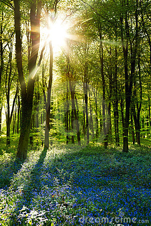 Free Sunset In A Bluebell Wood Royalty Free Stock Photo - 19890505
