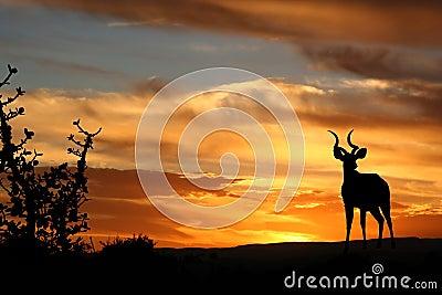 Sunset Kudu