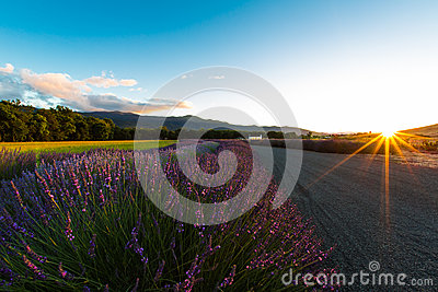 Sunset with Blooming Lavender