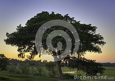 Sunset Live Oak