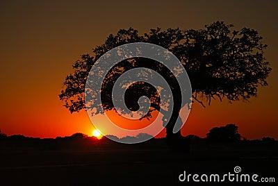 Sunset Live Oak