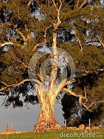 Free Sunset On Gum Tree Royalty Free Stock Image - 919906
