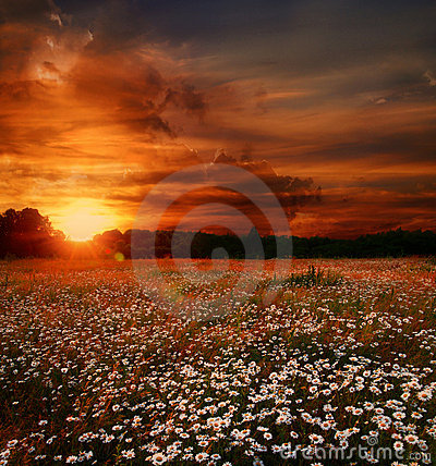 Sunset over daisies field