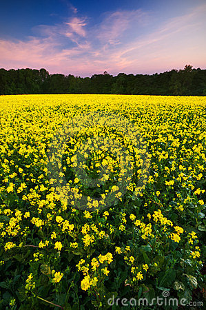 Sunset over a field of oilseed rape